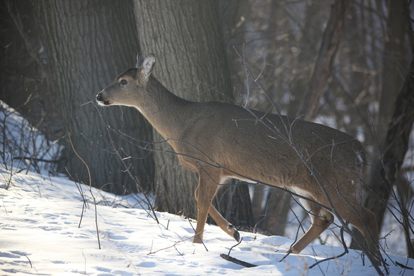 PAD Feb 17 Deer Visitor in our backyard One