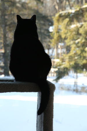PAD Jan 2 Mittsey silhouette on her perch