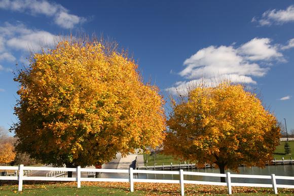 PAD Nov 11 Two Yellow Trees at Stockbridge Park